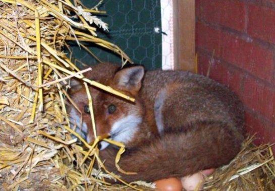 В Великобритании лиса высиживает куриные яйца