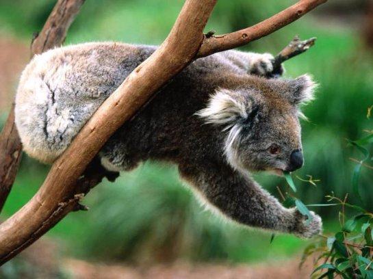 У австралийских коал появилась надежда на выживание