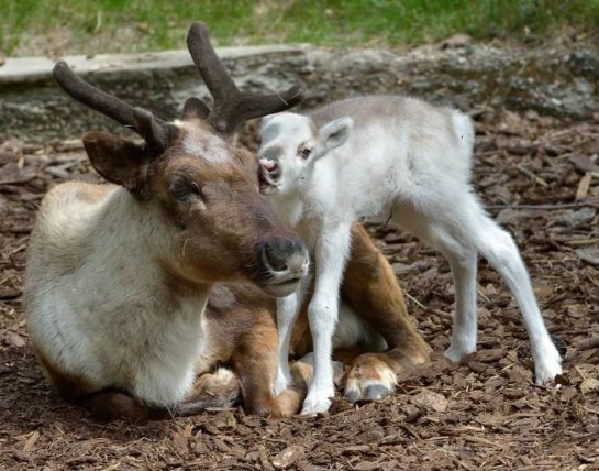 Луми- северный олененок