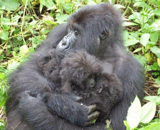 В джунглях Руанды родились кудрявые гориллы-близнецы