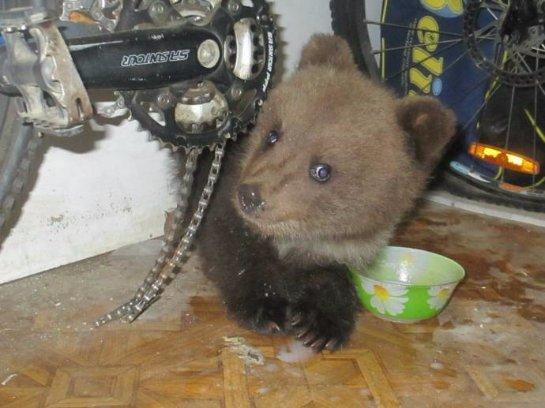 Семья из Коми спасла и приютила маленького медвежонка