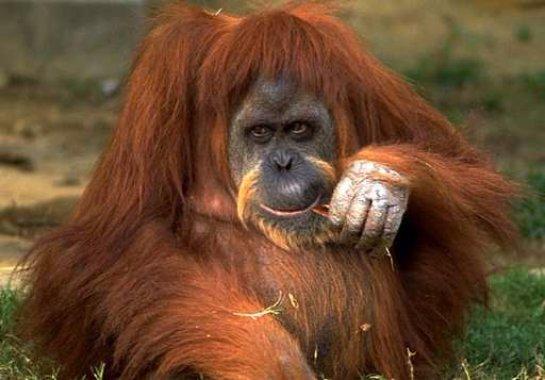 В зоопарк Удмуртии привезли орангутана