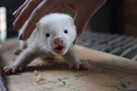 Красноярский парк «Роев ручей» показал детеныша американской норки