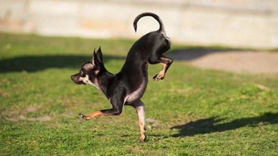 Собака из Колифорнии стала рекордсменом в беге на передних лапах
