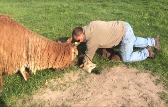 В США спасли маленькую альпаку, которая провалилась в яму