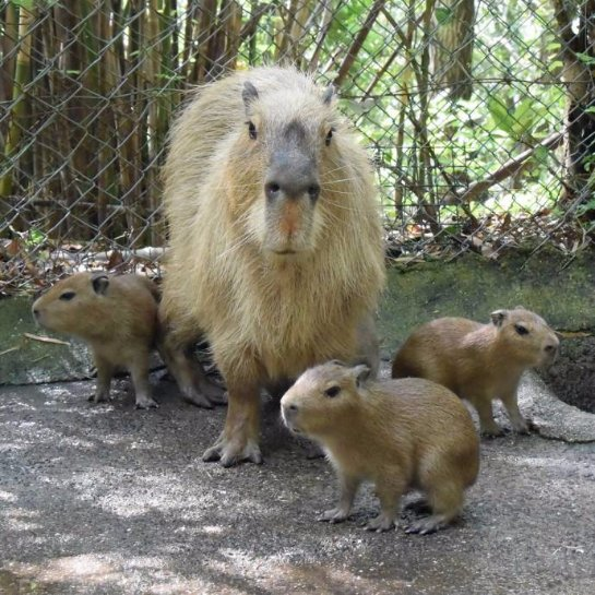 В зоопарке Нагасаки родились капибары