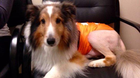 Стажер ветеринарной клиники спас колли от усыпления