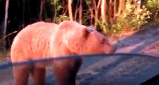 Сообразительный медведь таскает еду у водителя