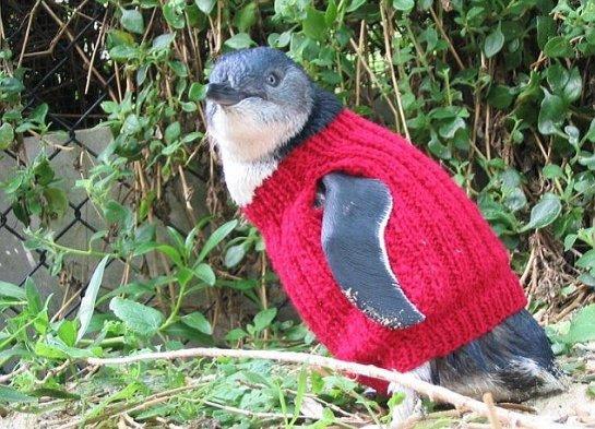 Старушка из Австралии шьет одежду для маленьких пингвинов