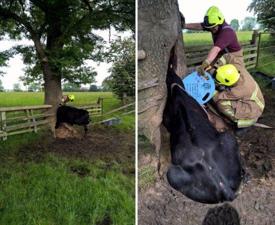 В Великобритании спасли корову, которая непонятным образом угодила в дупло дерева