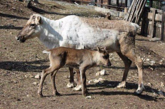 В Роевом ручье появился на свет детеныш северного оленя