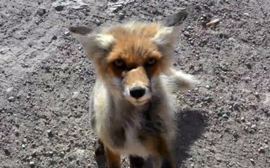 В Якутии живет по-настоящему хитрый лис