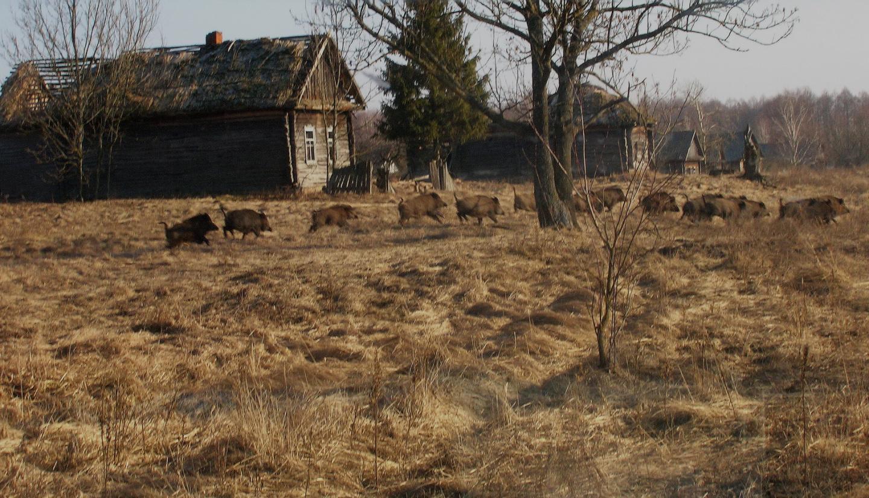 В Чернобыле выросла популяция диких животных