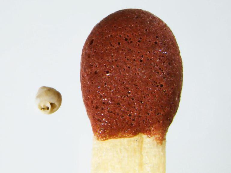 Недавно обнаружены самые маленькие улитки в мире