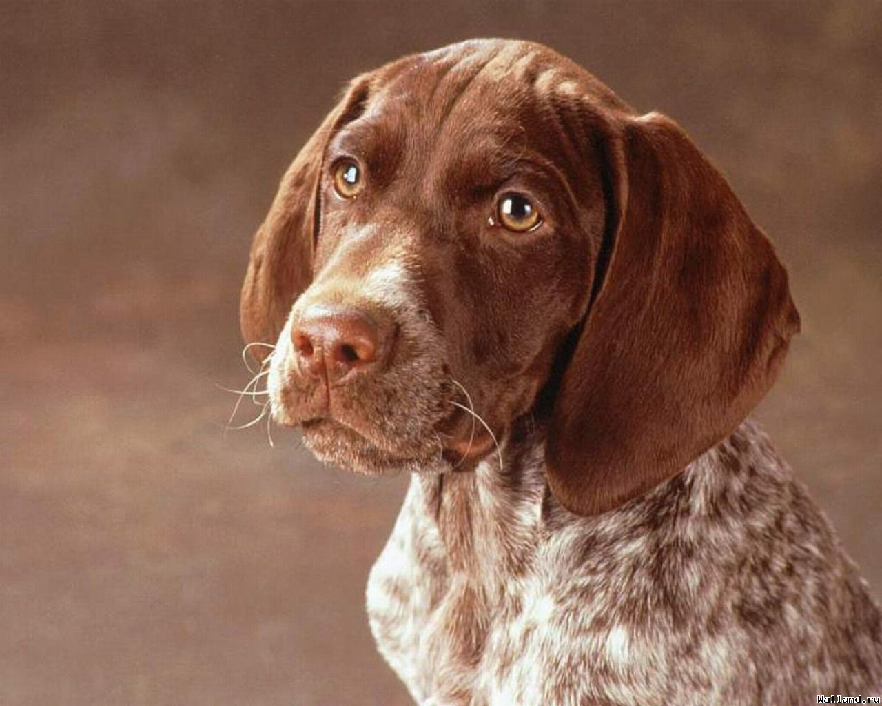 Самые популярные породы собак 2015 года