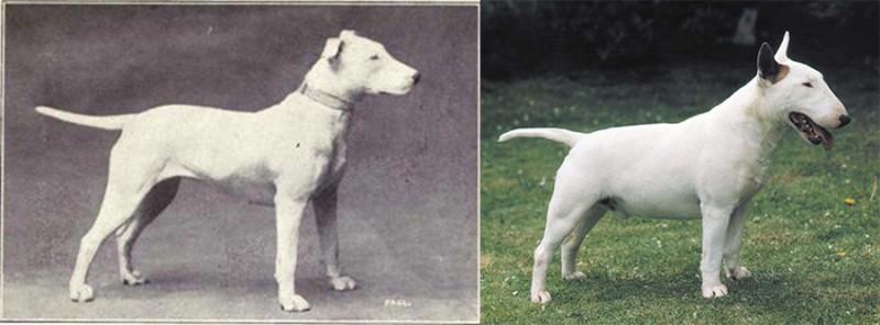 Эволюция собак за последние 100 лет