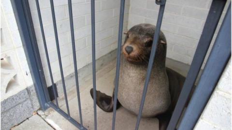 Морской котик добрался до кладбища, чтобы уснуть в женском туалете