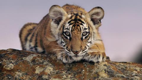 За последние 100 лет были истреблены 97% всех видов тигров