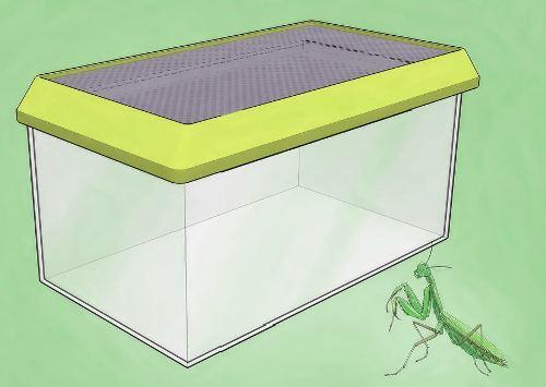 Содержание богомола в качестве домашнего питомца