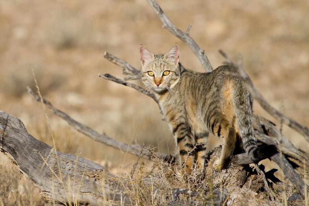 Истребление бездомных кошек в Австралии