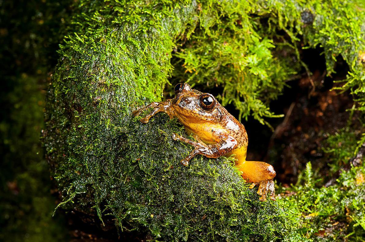 Исчезнувший вид лягушек вновь открыт