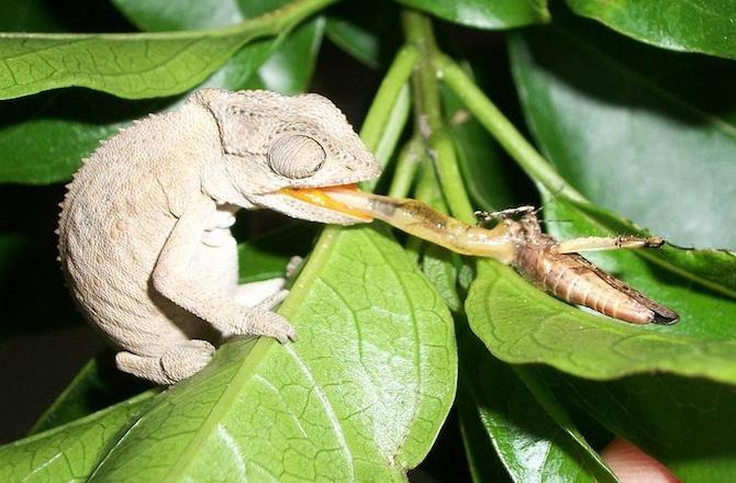 Супер-сильный язык крошечного хамелеона
