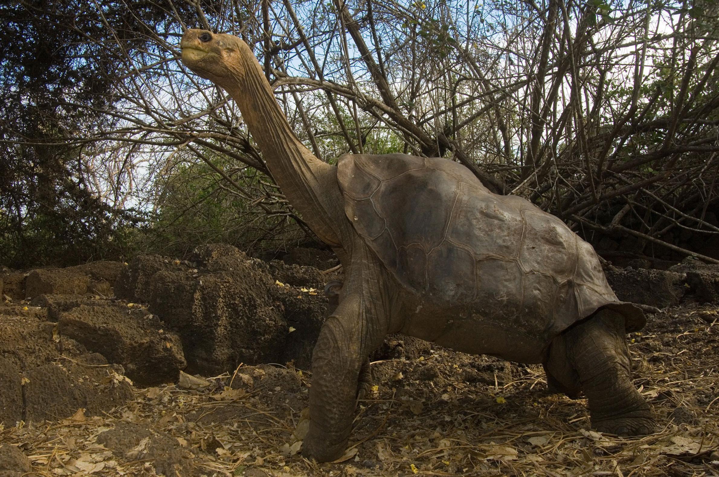 Воскрешение гигантских черепах