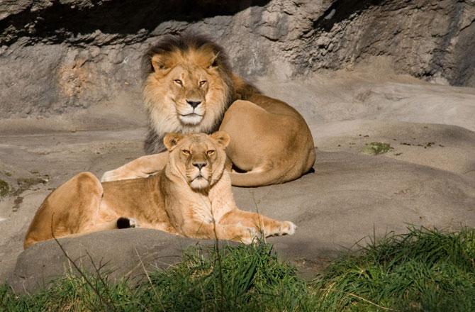 В Африке исчезают львы