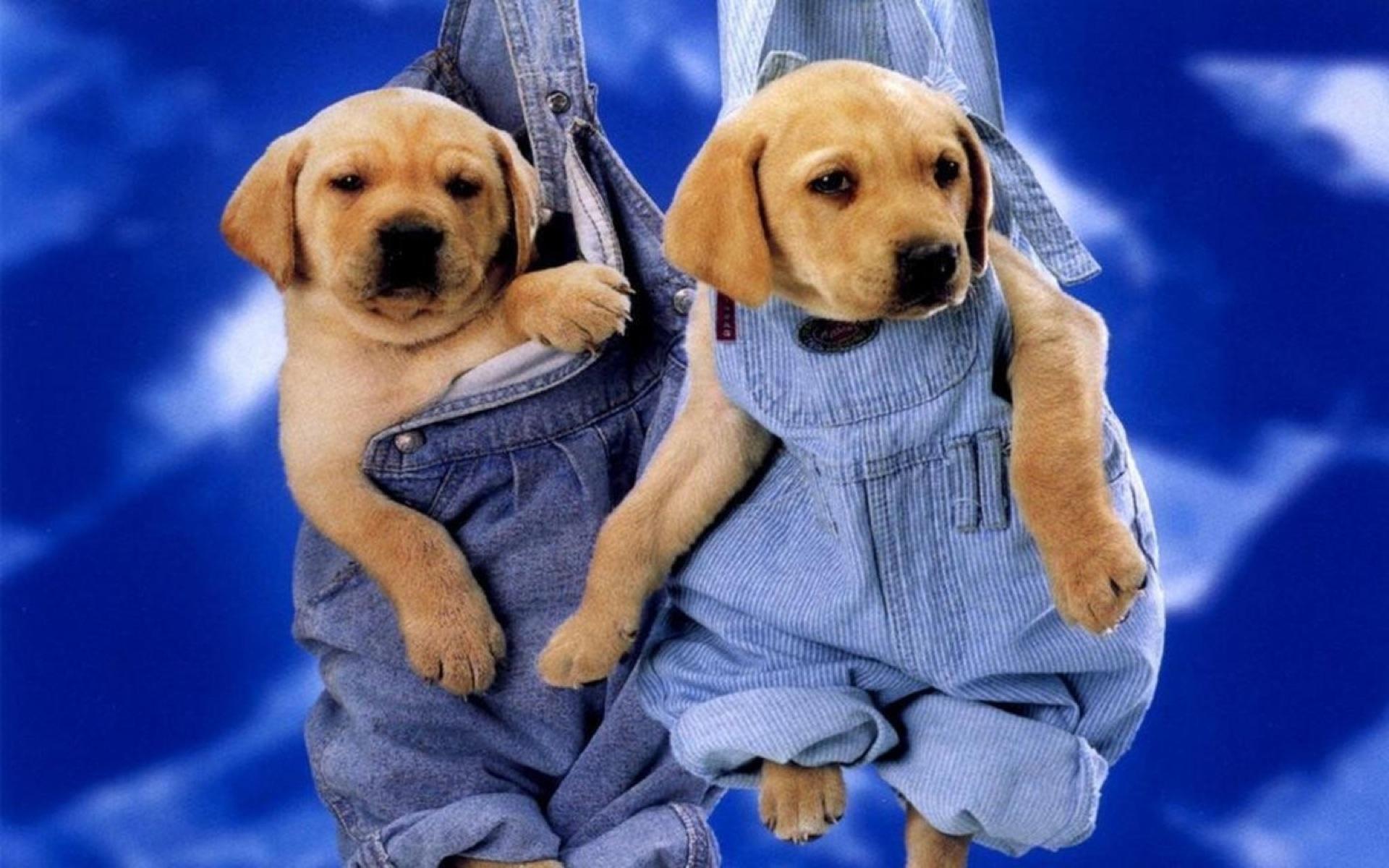 Как собакам носить брюки?