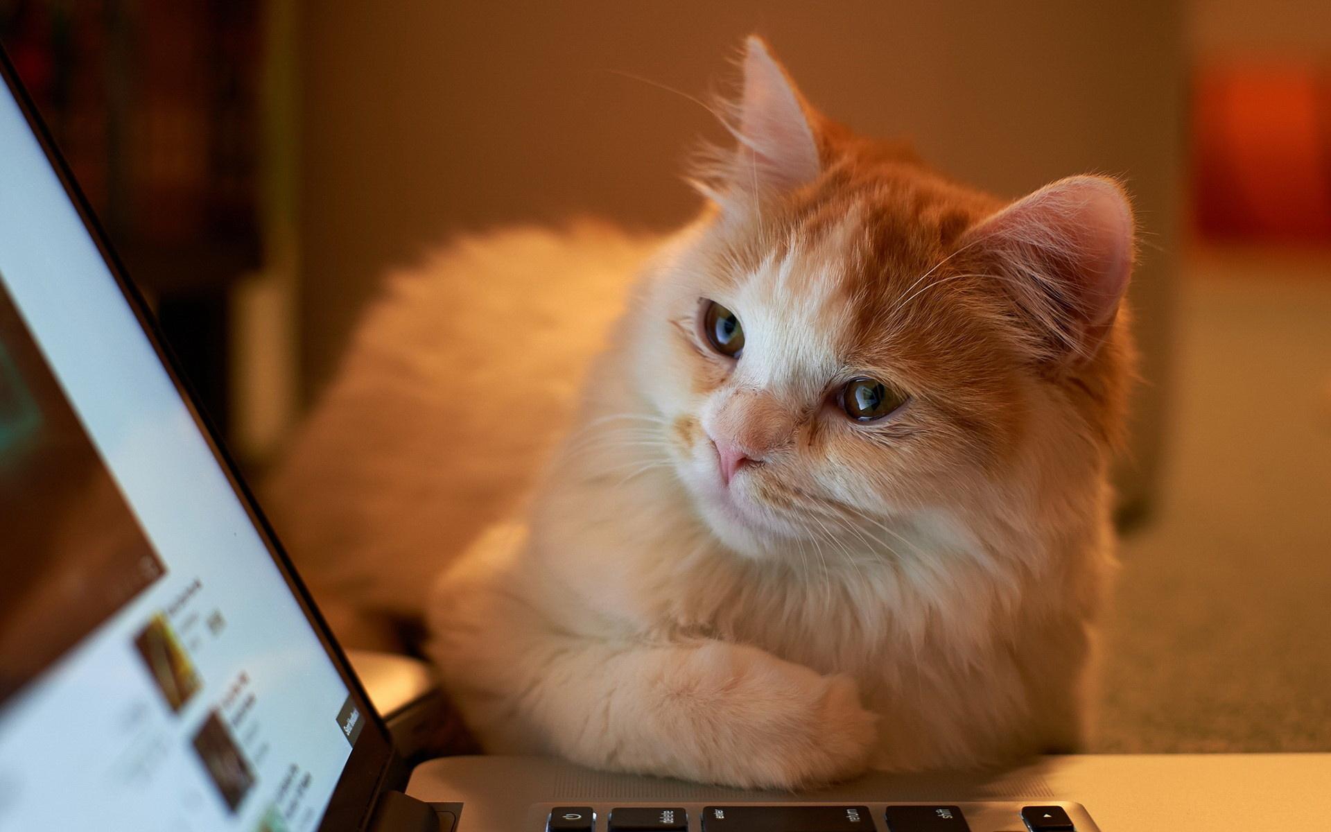 Котята «разговаривают» с ноутбуком