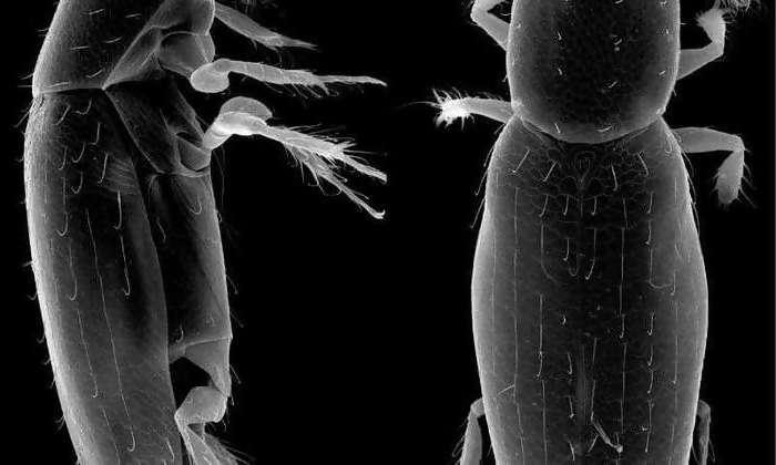 Новый рекорд среди самых маленьких насекомых