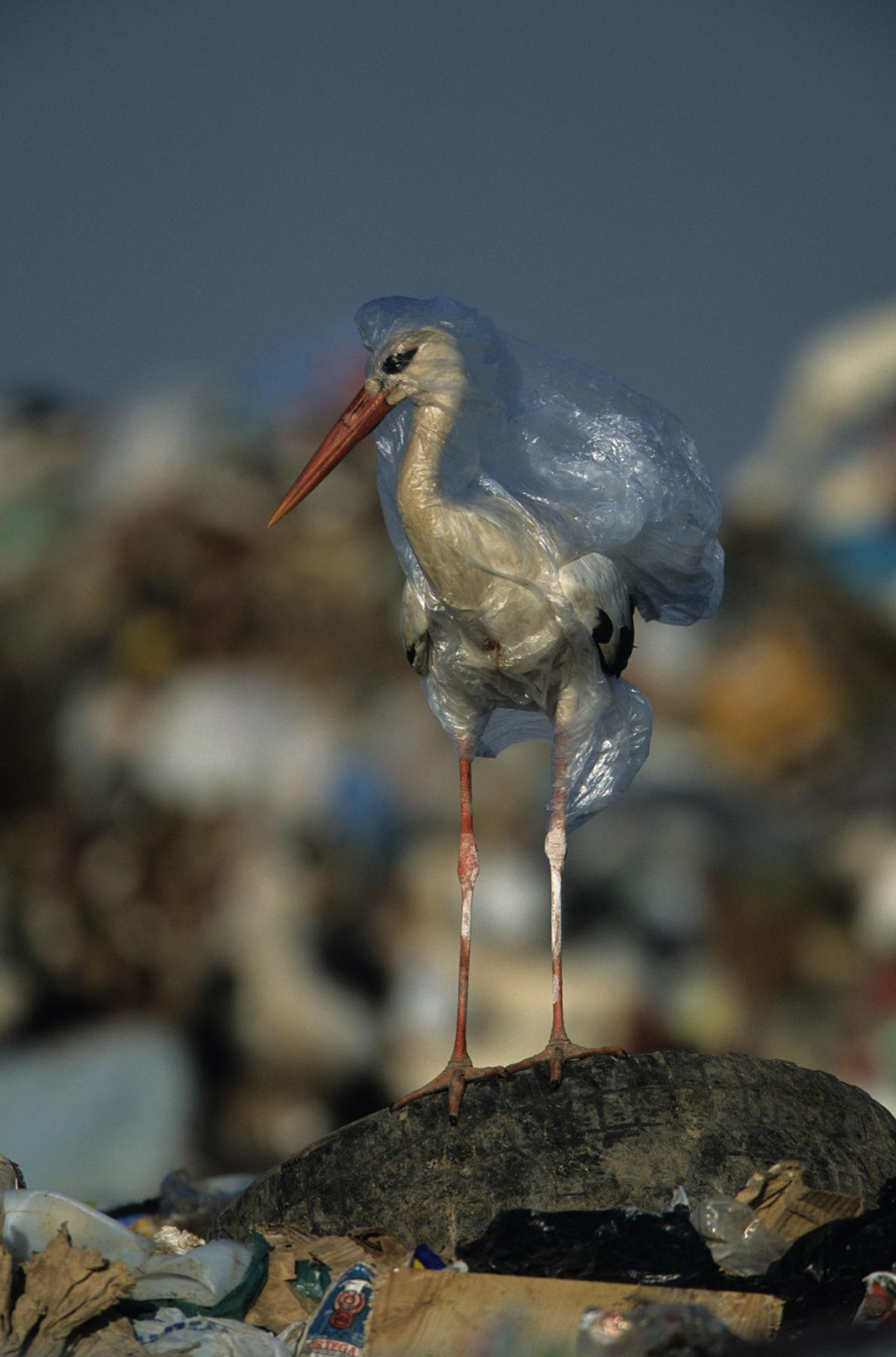 Белые аисты на свалке мусора