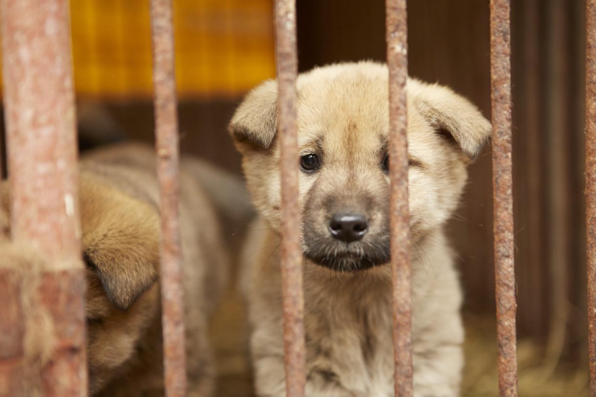 30 собак спасены от участи стать блюдом