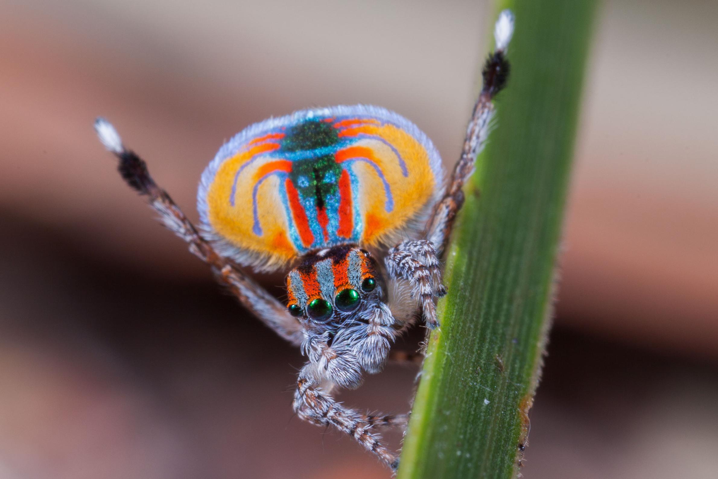 Павлиньи пауки непревзойденные танцоры диско