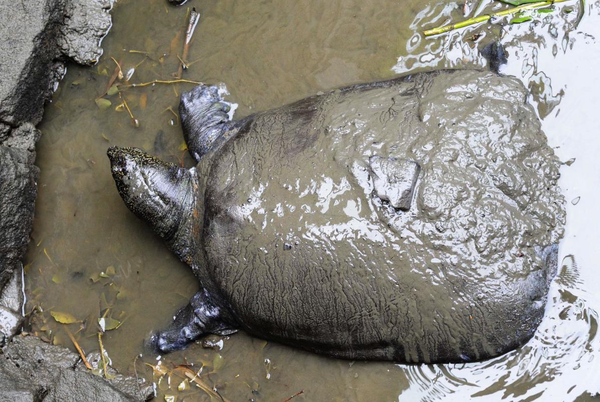 Гигантские черепахи на один шаг ближе к вымиранию