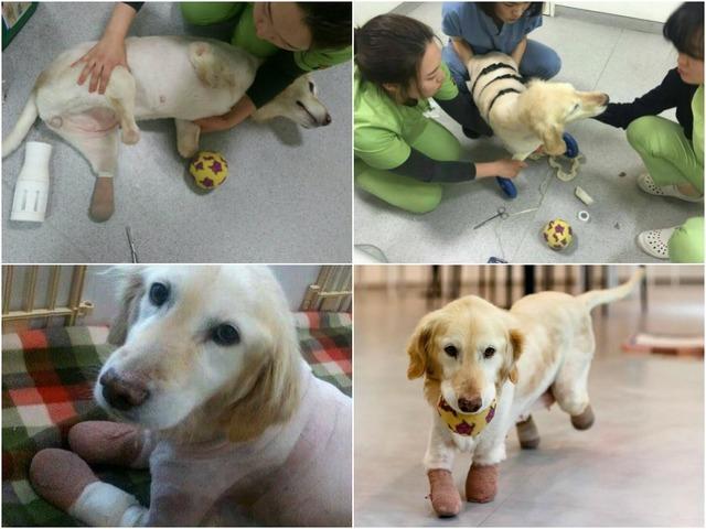 Собака без лап начинает новую жизнь