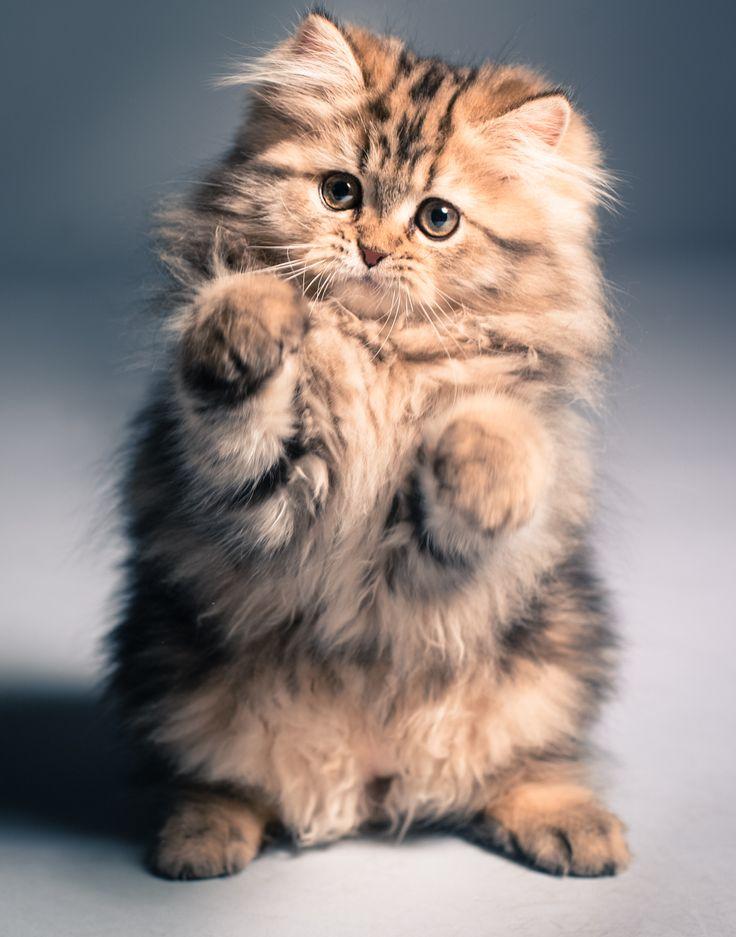Ваша кошка немного ехидна? Ищите причину в окрасе