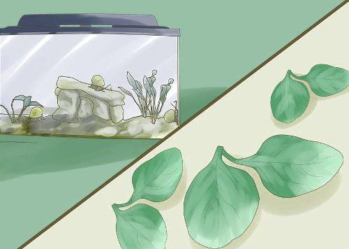Как ухаживать за водной улиткой?