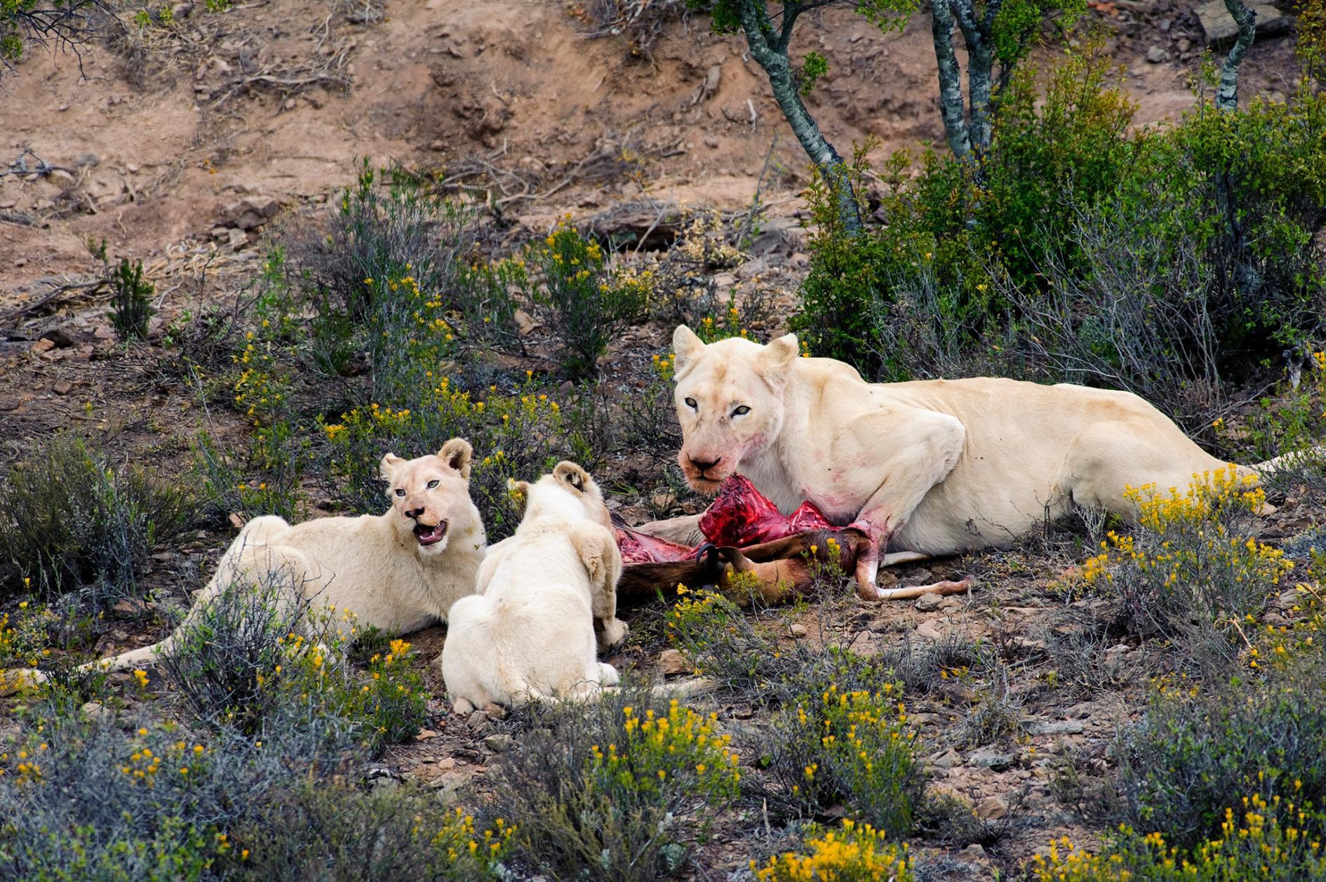 Белый жираф и другие необычные животные альбиносы
