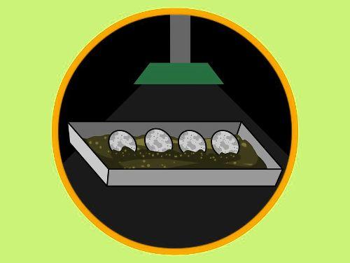 Как заботится о яйцах ящерицы?