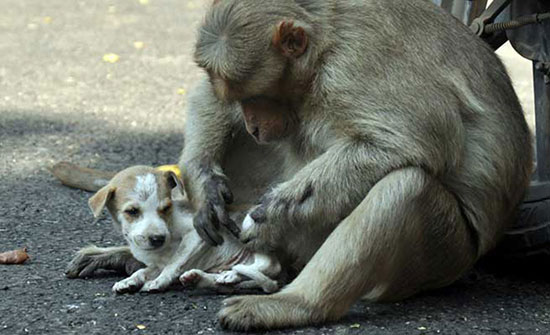 Обезьяна спасла жизнь щенку