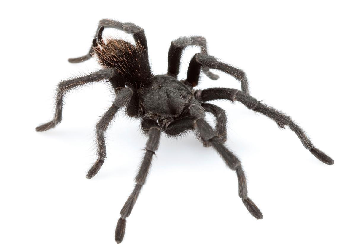 Новый вид тарантулов назван в честь Джонни Кэша