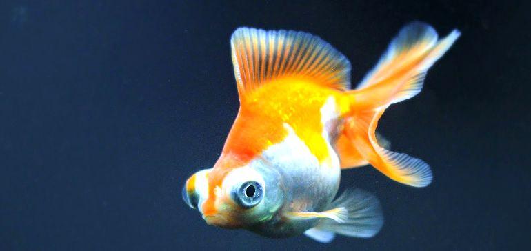 Золотая рыбка — телескоп бабочка