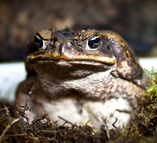 ага-жаба
