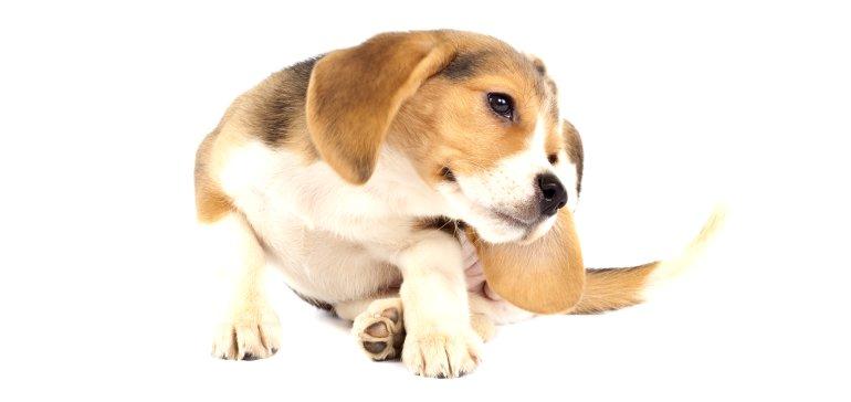 Блохи у собаки. Профилактика и избавление