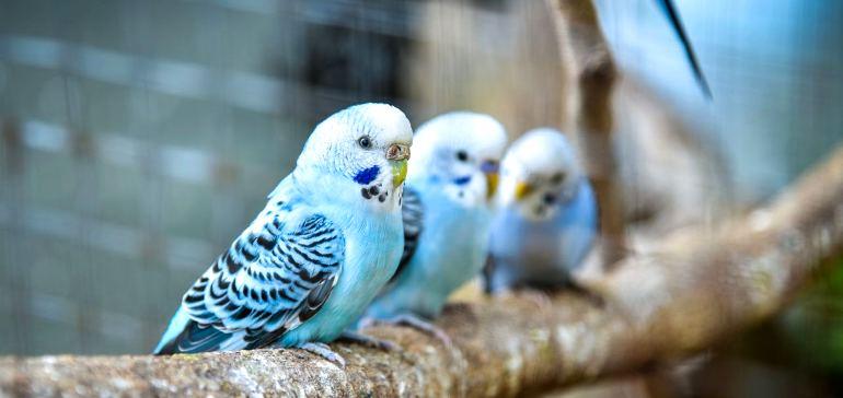 Каким образом обучить волнистого попугайчика речи?