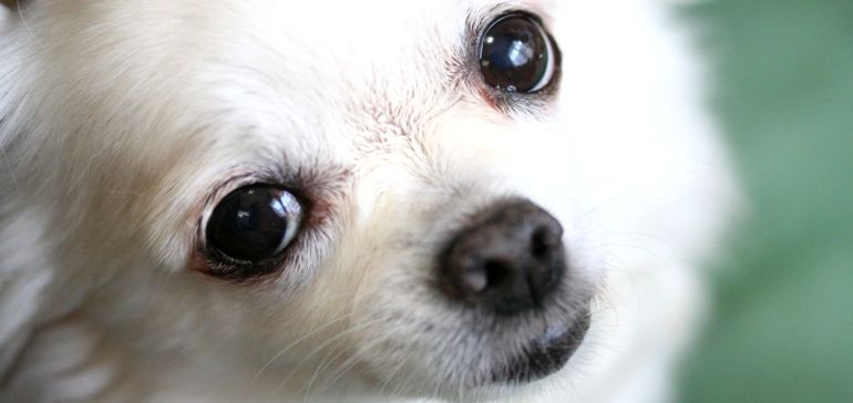 Как вычесать колтуны у собаки