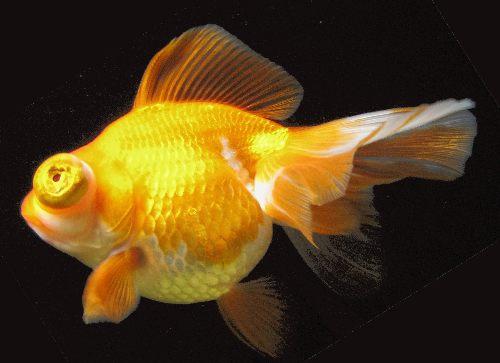 телескоп-бабочка рыбка