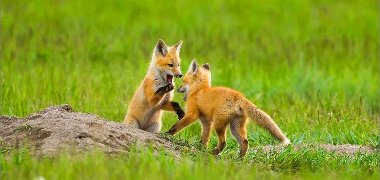 Как приручить лису?