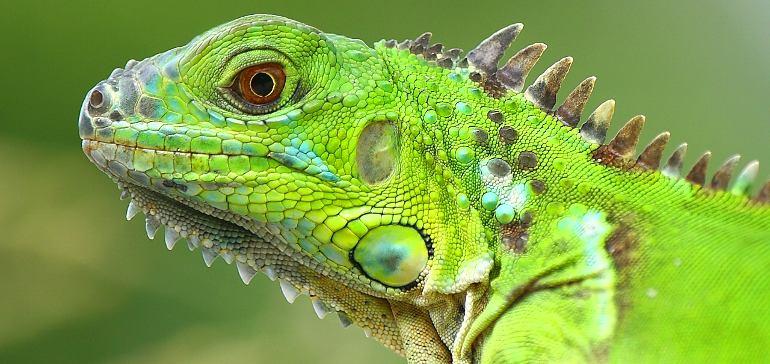 Игуана: выбор здорового питомца